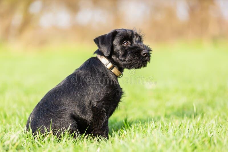 Portrait of a standard schnauzer puppy who sits on the meadow. Portrait picture of a standard schnauzer puppy who sits on the meadow stock photo