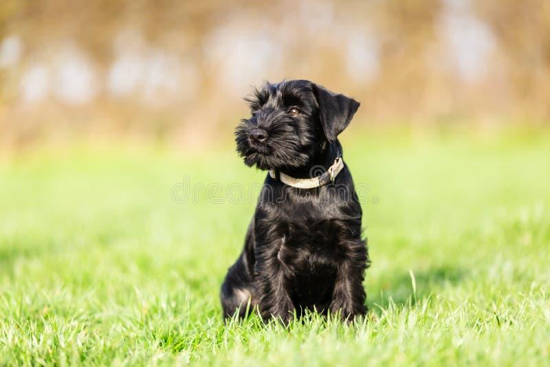 Portrait of a standard schnauzer puppy who sits on the meadow. Portrait picture of a standard schnauzer puppy who sits on the meadow stock photography