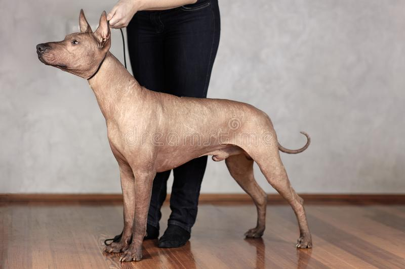 Portrait of standing adult Xolotizcuintle dog Mexican Hairless, male standard size in show training with hanlder. Beautiful dog. With with clever look. Indoors stock images