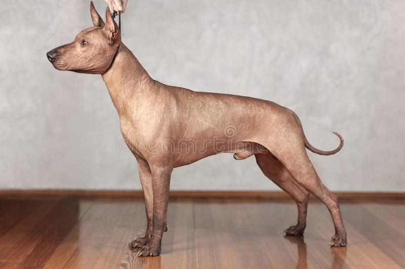 Portrait of standing adult Xolotizcuintle dog Mexican Hairless, male standard size in show training with hanlder. Beautiful dog. With with clever look. Indoors stock photography