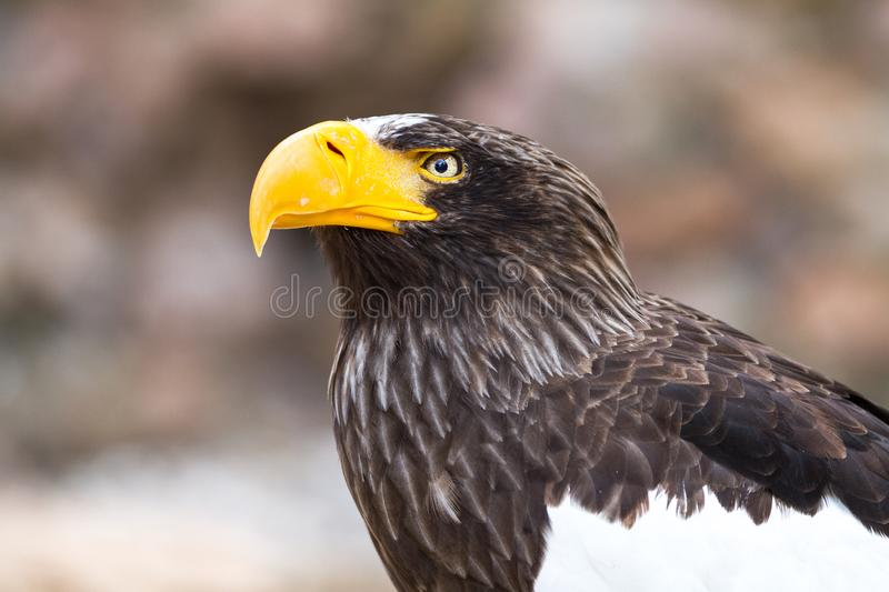 Portrait of a Steller`s sea eagle royalty free stock photo