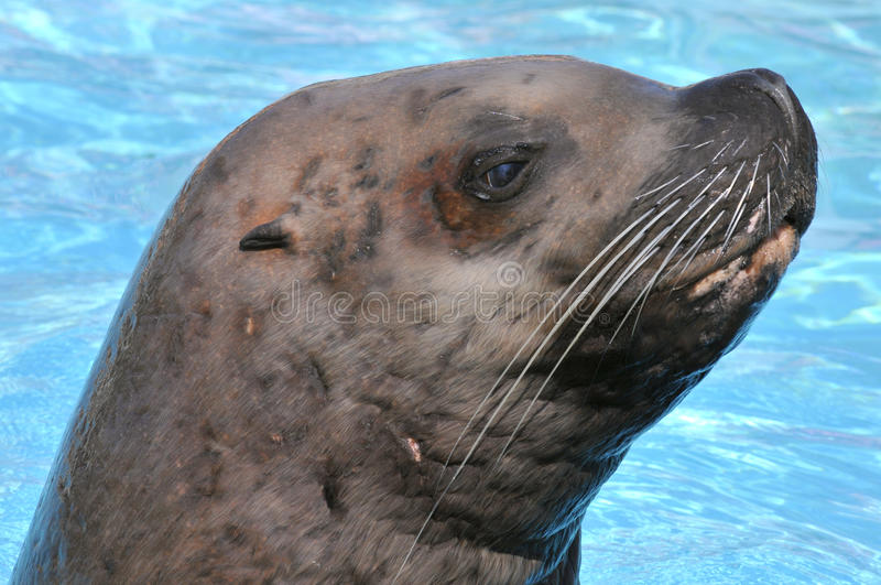 Portrait Steller Sea Lion royalty free stock image