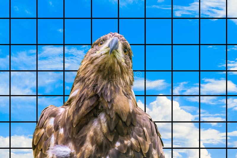 Portrait of the Steppe Eagle. Concept of a wild bird of prey suffering in captivity. Portrait of the Steppe Eagle Aquila nipalensis. Concept of a wild bird of stock photo