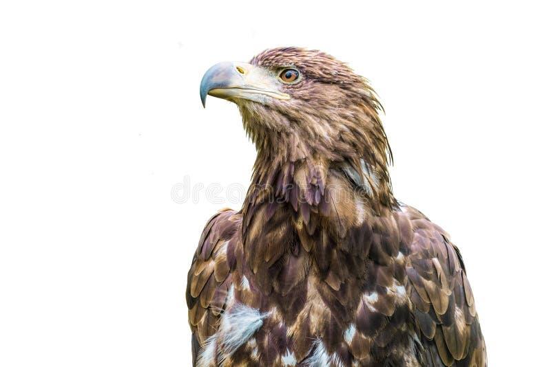 Portrait of the Steppe Eagle. Wild bird of prey. Portrait of the Steppe Eagle Aquila nipalensis. Wild bird of prey royalty free stock image