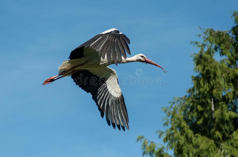 Stork flying with branch. Portrait of stork flying with branch stock images