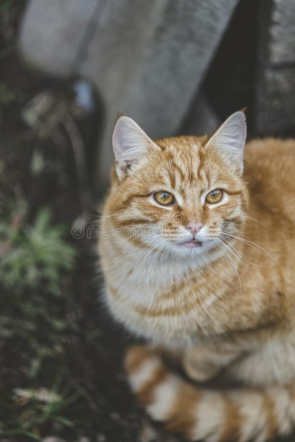Portrait of a street homeless red cat sitting and looking in old european city, animal natural background.  stock photography