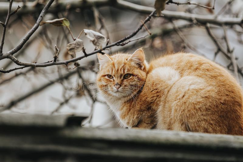 Portrait of a street red cat sitting and looking in old european city, animal natural background.  stock photography