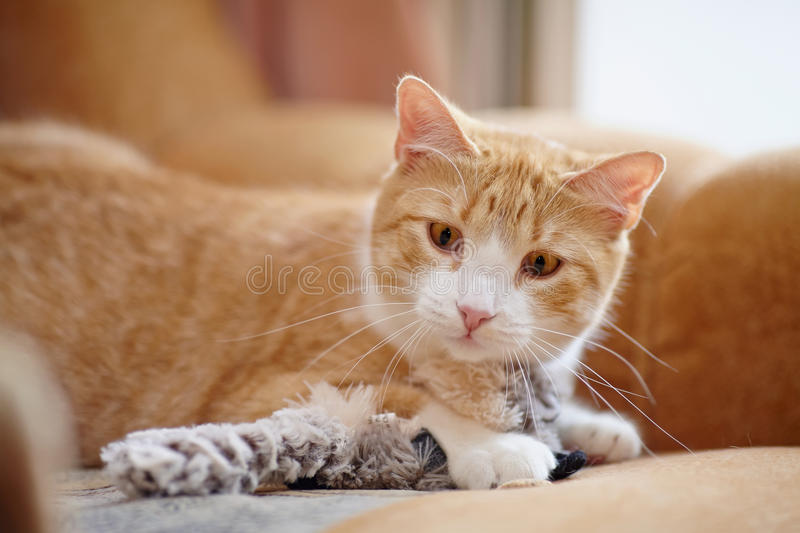 Portrait Of A Striped Cat Of A Red Color With A Toy. Stock ...