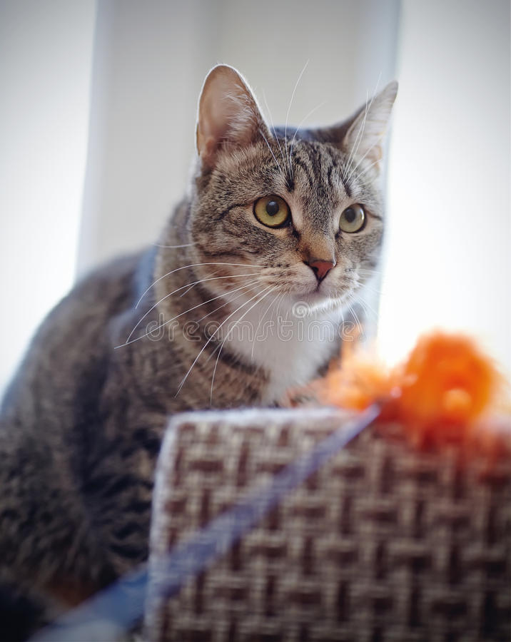 Portrait of a striped cat with a toy. Portrait of a striped cat with white moustaches with a toy royalty free stock photo
