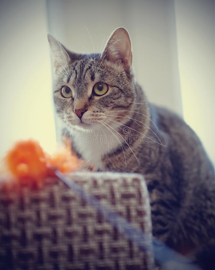 Portrait of a striped cat with a toy. Portrait of a striped cat with white moustaches with a toy royalty free stock photos
