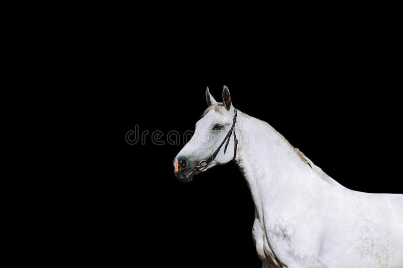 Portrait of a strong white horse on a black background. royalty free stock photo