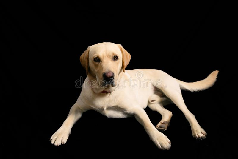 Portrait in studio of blond labrador on black background royalty free stock photo
