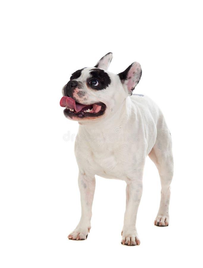 Portrait in Studio of a cute bulldog royalty free stock image