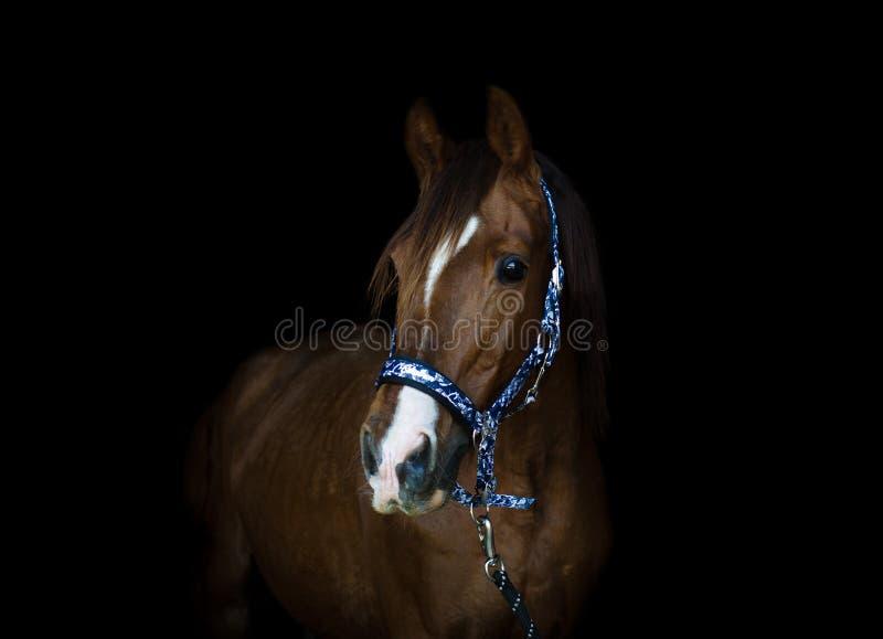 Trakehner stallion horse on black background. Portrait of stunning red trakehner stallion horse with white line on forehead on black background stock photo