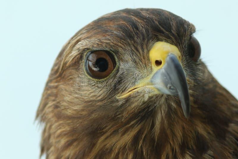 Portrait stupéfiant de faucon pérégrin dans la lumière de matin avec hors du fond de foyer images libres de droits