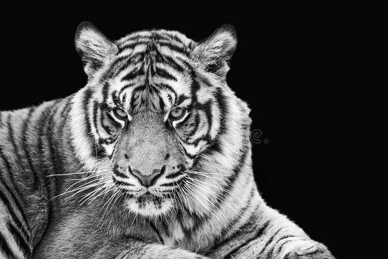 Portrait of Sumatran tiger in black and white. Portrait Sumatran tiger in black and white royalty free stock photo