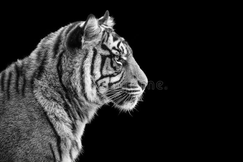 Portrait of Sumatran tiger in black and white stock photo