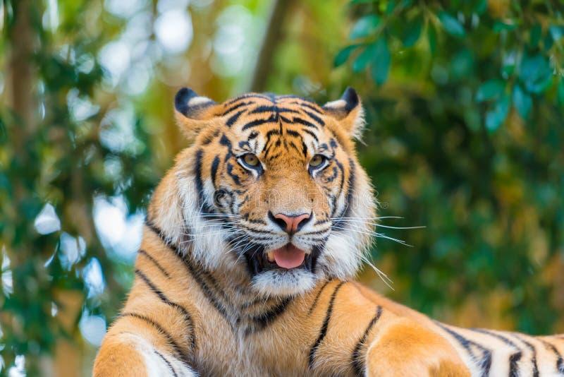 Portrait of Sumatran tiger over forest background with bokeh. Portrait of Sumatran tiger in the wilderness over forest background with bokeh stock photos