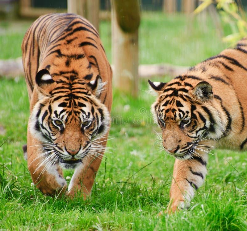 Portrait of Sumatran Tiger Panthera Tigris. Sumatrae big cat in captivity royalty free stock photos