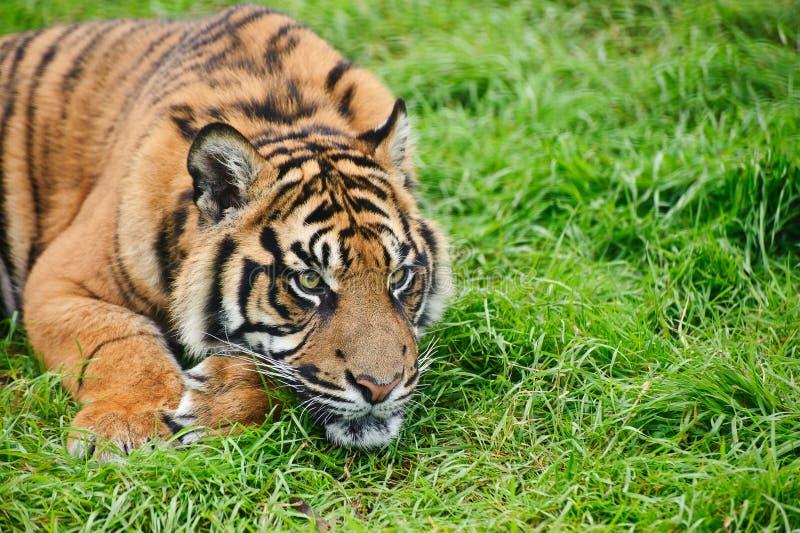 Portrait of Sumatran Tiger Panthera Tigris