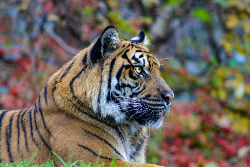 The portrait of Sumatran tiger a beautiful animal that is endangered. The portrait of Sumatran tiger royalty free stock image