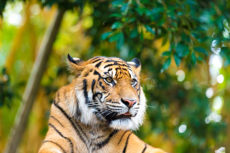 Portrait of Sumatran tiger over forest background with bokeh. Portrait of Sumatran tiger in the wilderness over forest background with bokeh royalty free stock images