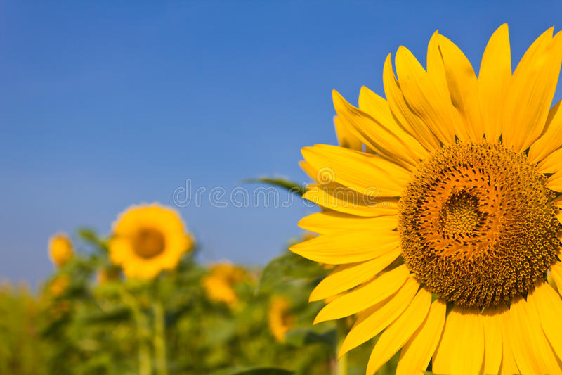 Portrait of a sunflower. In the field royalty free stock images