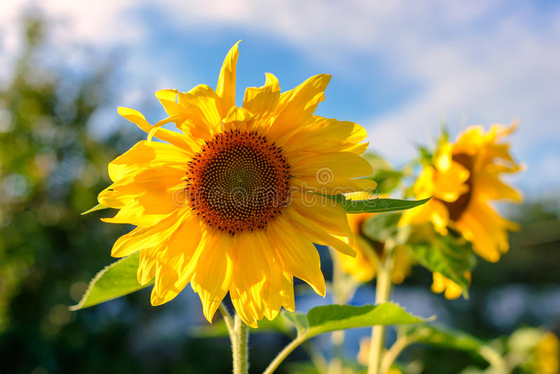 Portrait of a sunflower in the field royalty free stock photo