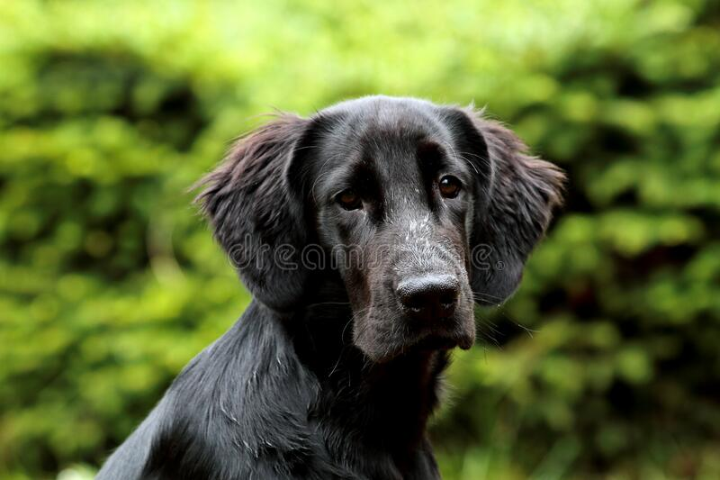 A portrait of a sweet flat coated retriever. Puppy outdoors stock photography