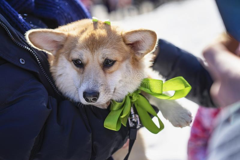 Portrait of sweet, pretty welsh corgi dog in the hands of the owner, saint patrick day holiday. St.Patrick s Day stock image