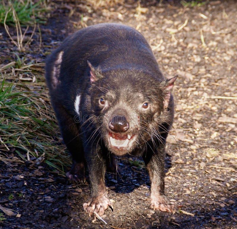Portrait of Tasmanian devil royalty free stock photo