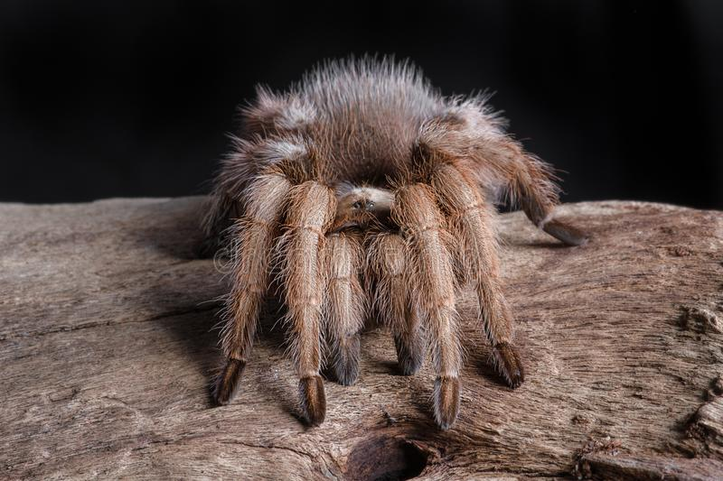 Portrait of a texas brown tarantula. A close portrait of a texas brown tarantula. It is facing forward on a piece of wood. The photograph is set against a black stock photography