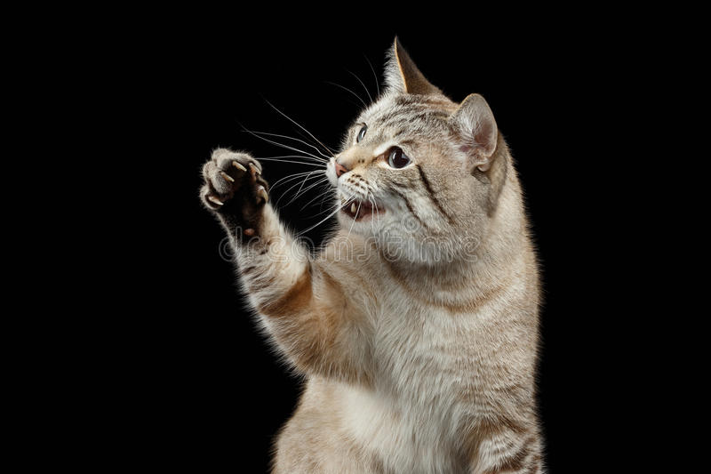 Portrait of Thai Cat Raising up Paw with opened mouth. Isolated on Black Background royalty free stock photos