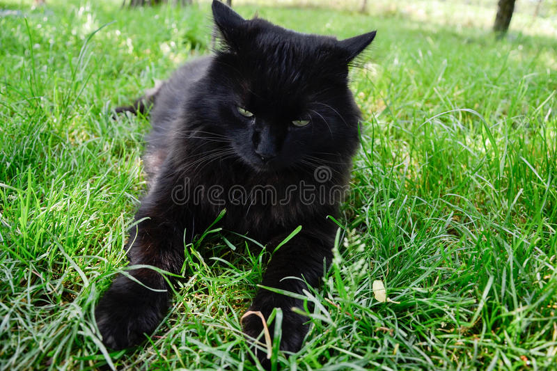Portrait of thick long hair black Chantilly Tiffany cat relaxing in the garden. Closeup of fat tomcat with stunning big green eyes. Portrait of thick long hair stock images