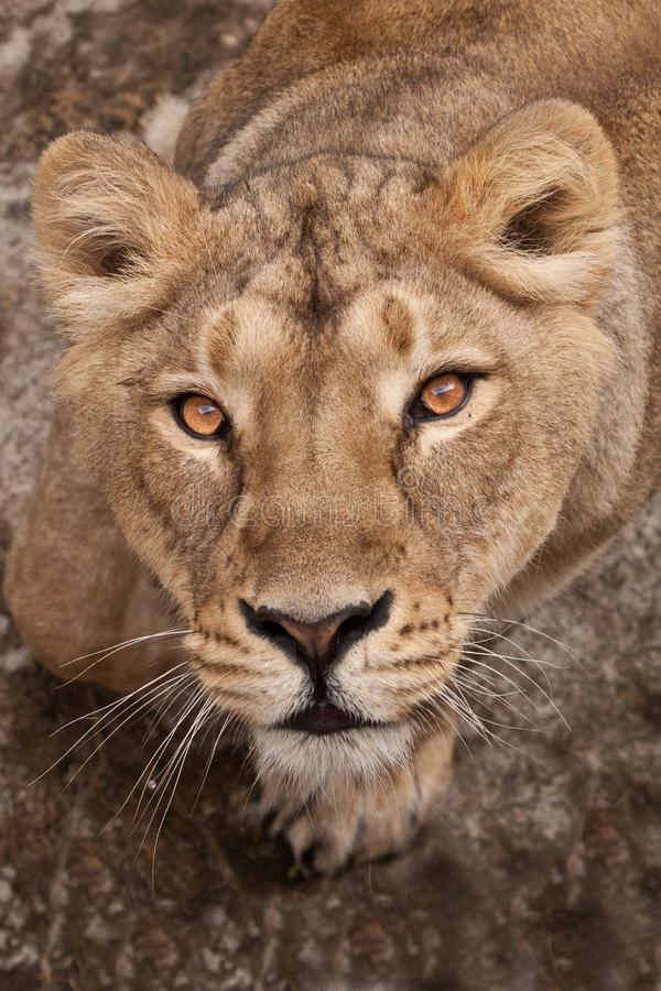 Free Portrait.  Thirsty Gaze Of A Large Predatory Cat Of A Female Lioness From The Bottom Up, The Eyes Languid Brown-ebony Look Fixed Stock Images - 163810534