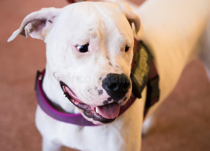Portrait of thoroughbred American Pit Bull Terrier dog stock photo