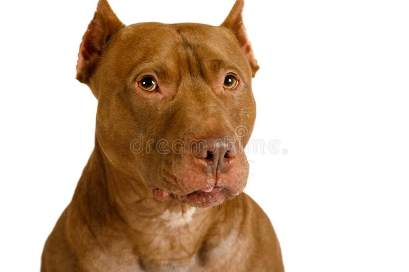 Portrait of a thoroughbred American Pit Bull Terrier dog over white stock photography