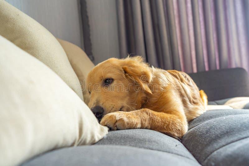 Portrait of purebred golden retriever dog lying on sofa stock photos