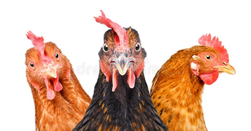 Portrait of  three chickens royalty free stock photo