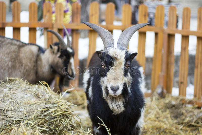 Portrait of three-colored goat with beard and horns stock photo