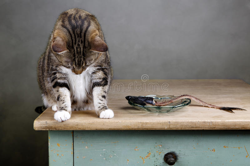 Cat and Herring. Portrait of a three colored housecat sitting on table with an eaten herring looking guilty towards the ground royalty free stock photo
