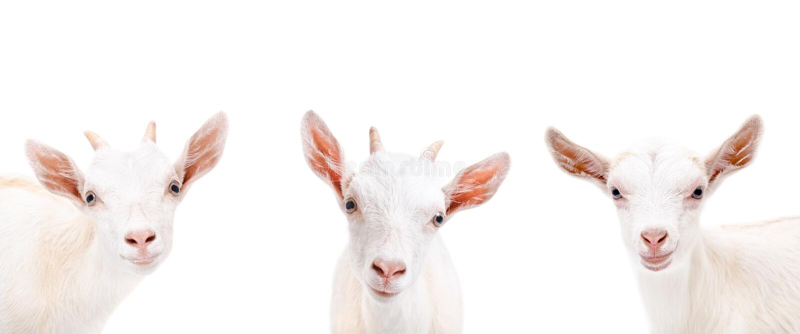 Portrait of three cute goat stock photo