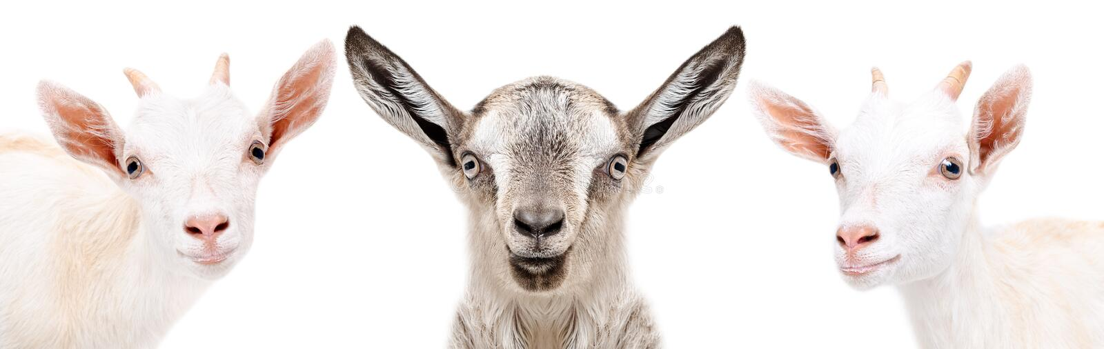 Portrait of a three cute little goat royalty free stock photo