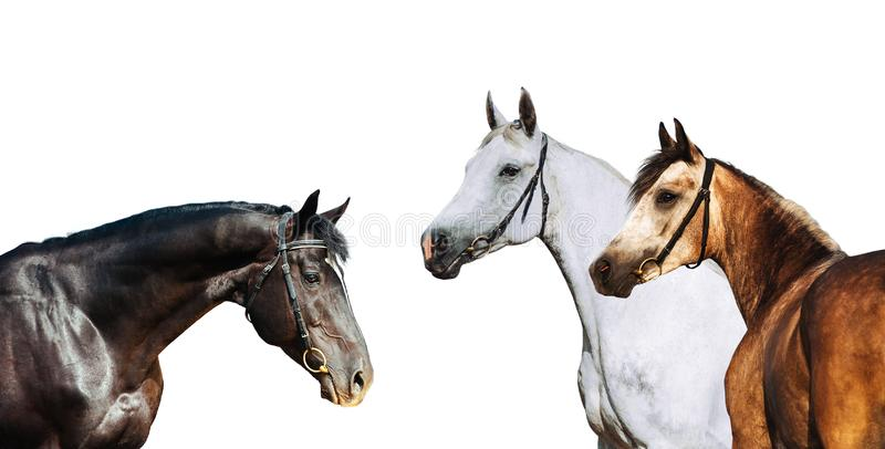 Portrait of three different horse suits isolated on white background royalty free stock image