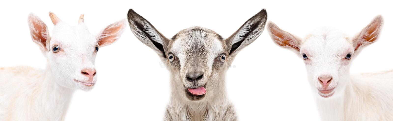Portrait of a three funny goat stock photo