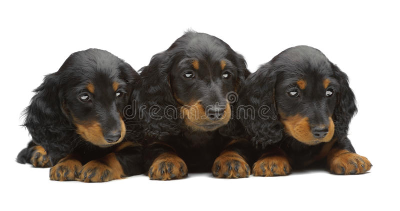 Download Portrait Of Three Puppies Of Dachshund Stock Photo - Image: 24494932