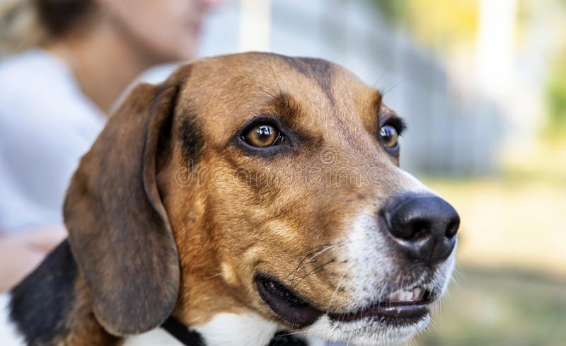 Portrait of male hound. Portrait of a three year old male Estonian hound in a harness at the place for dog walking royalty free stock photography