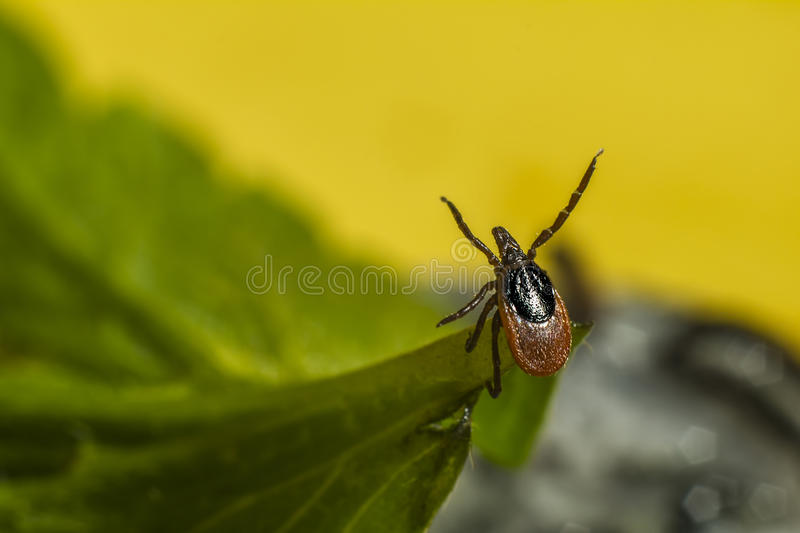 Portrait of a tick royalty free stock images