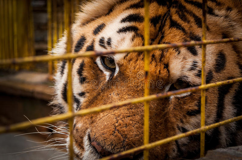 Portrait Of A Tiger. In A Cage stock images
