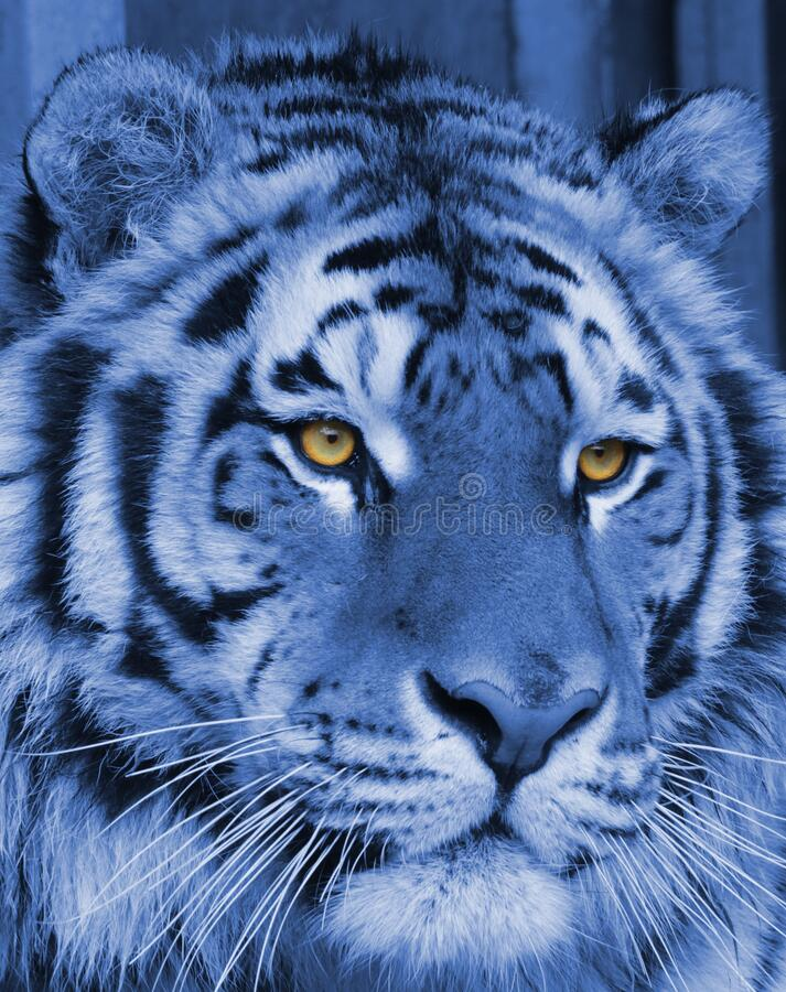 Portrait of a tiger in blue coloring with beautiful eyes stock photo